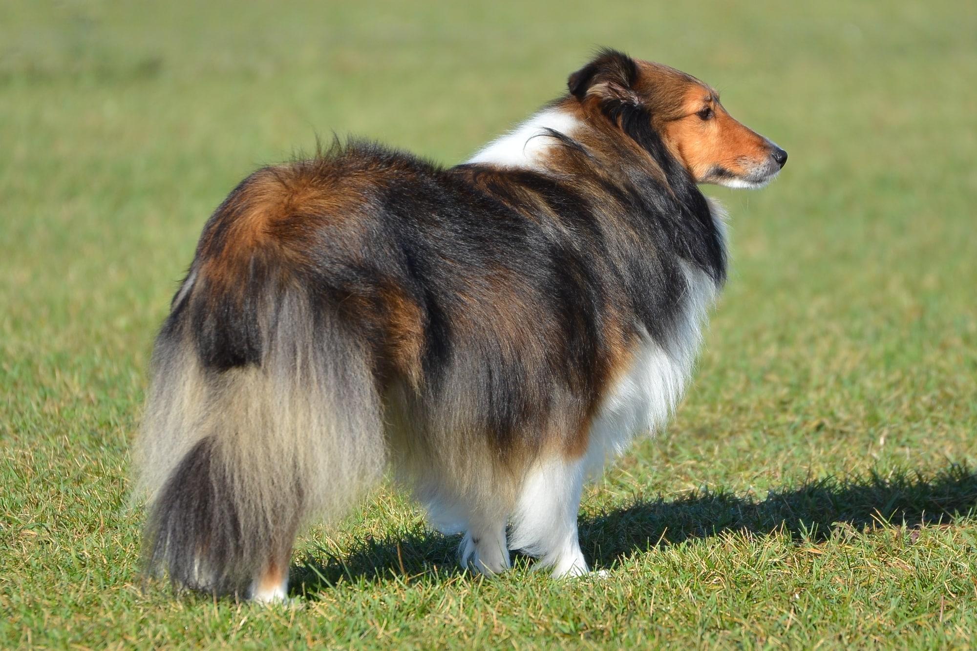 Shetland Sheepdog 1
