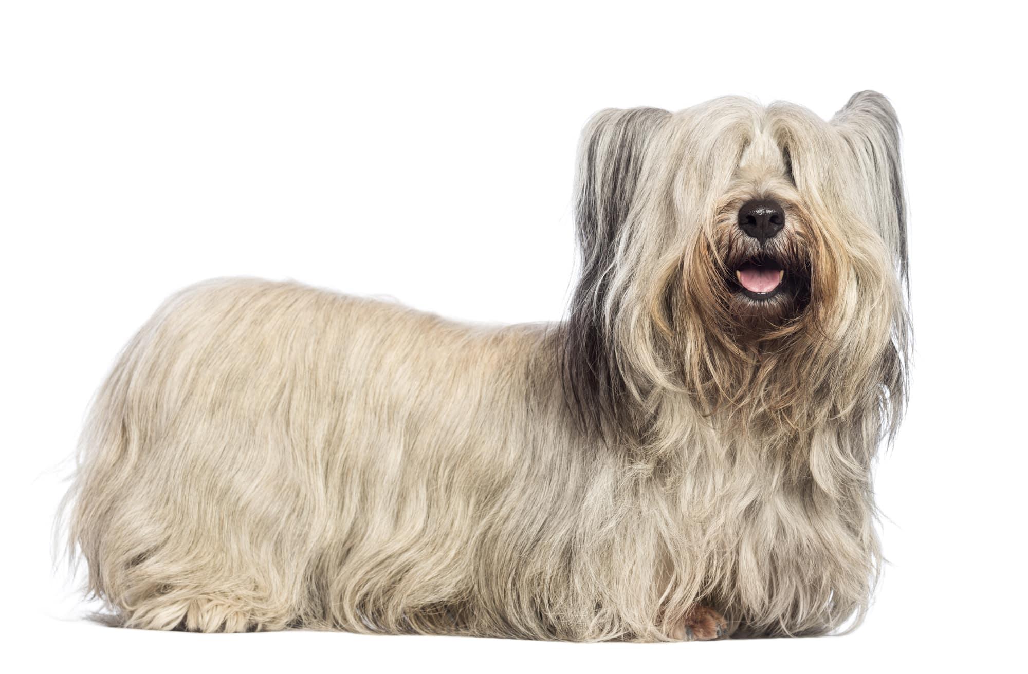 Skye Terrier Profil
