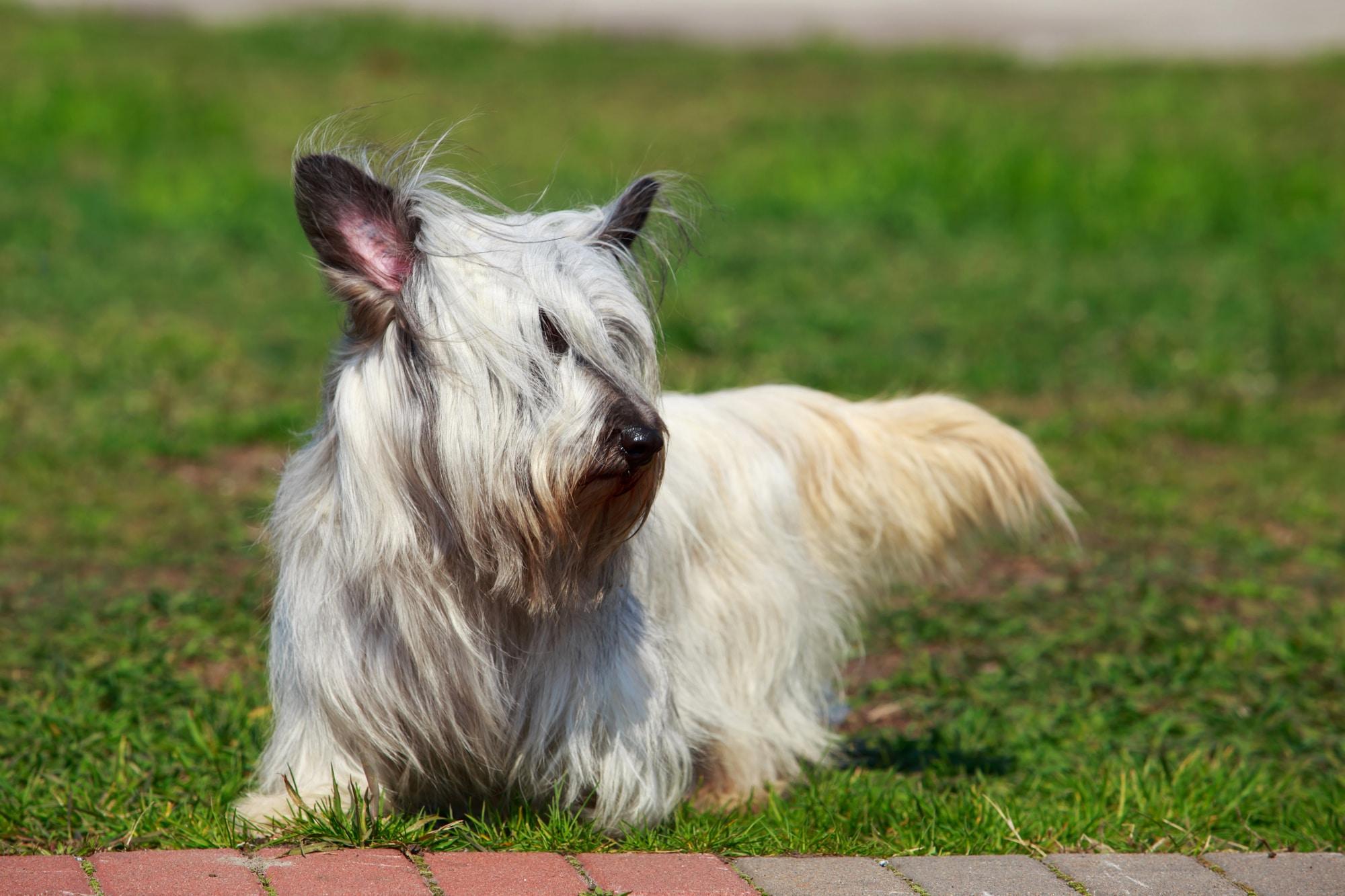 Skye Terrier weiß