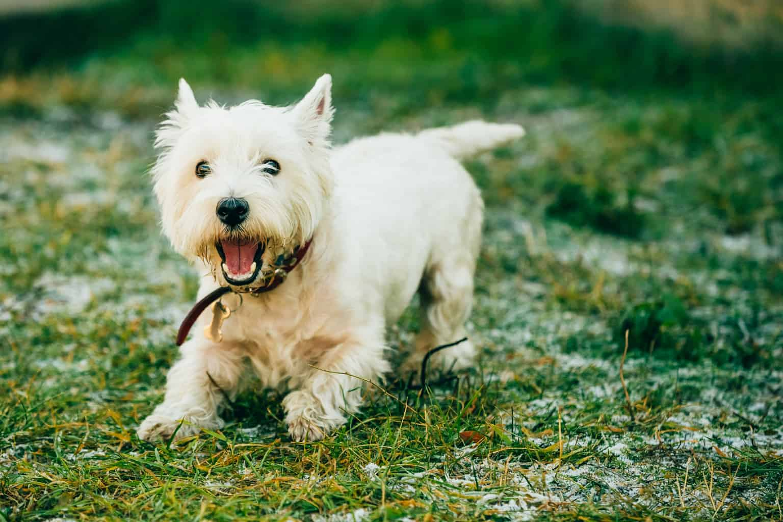 West Highland White Terrier 1