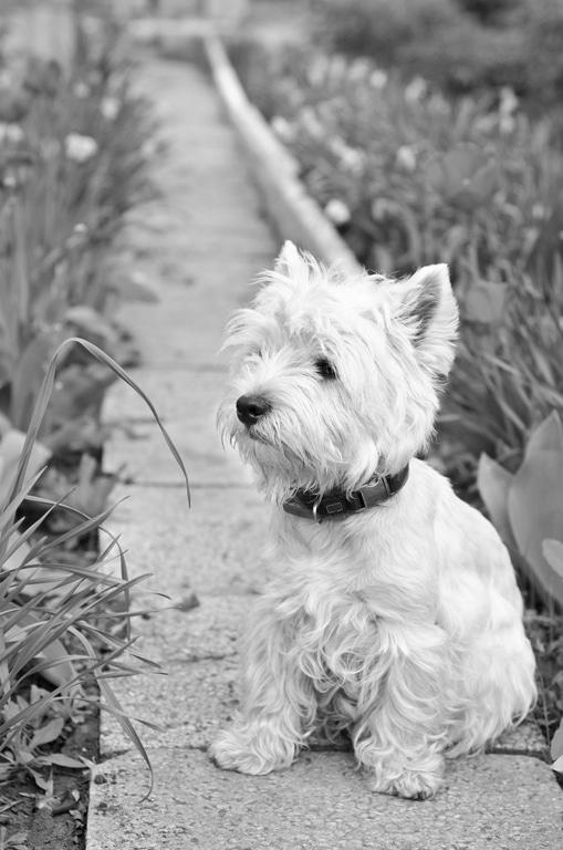 West Highland White Terrier Herkunft