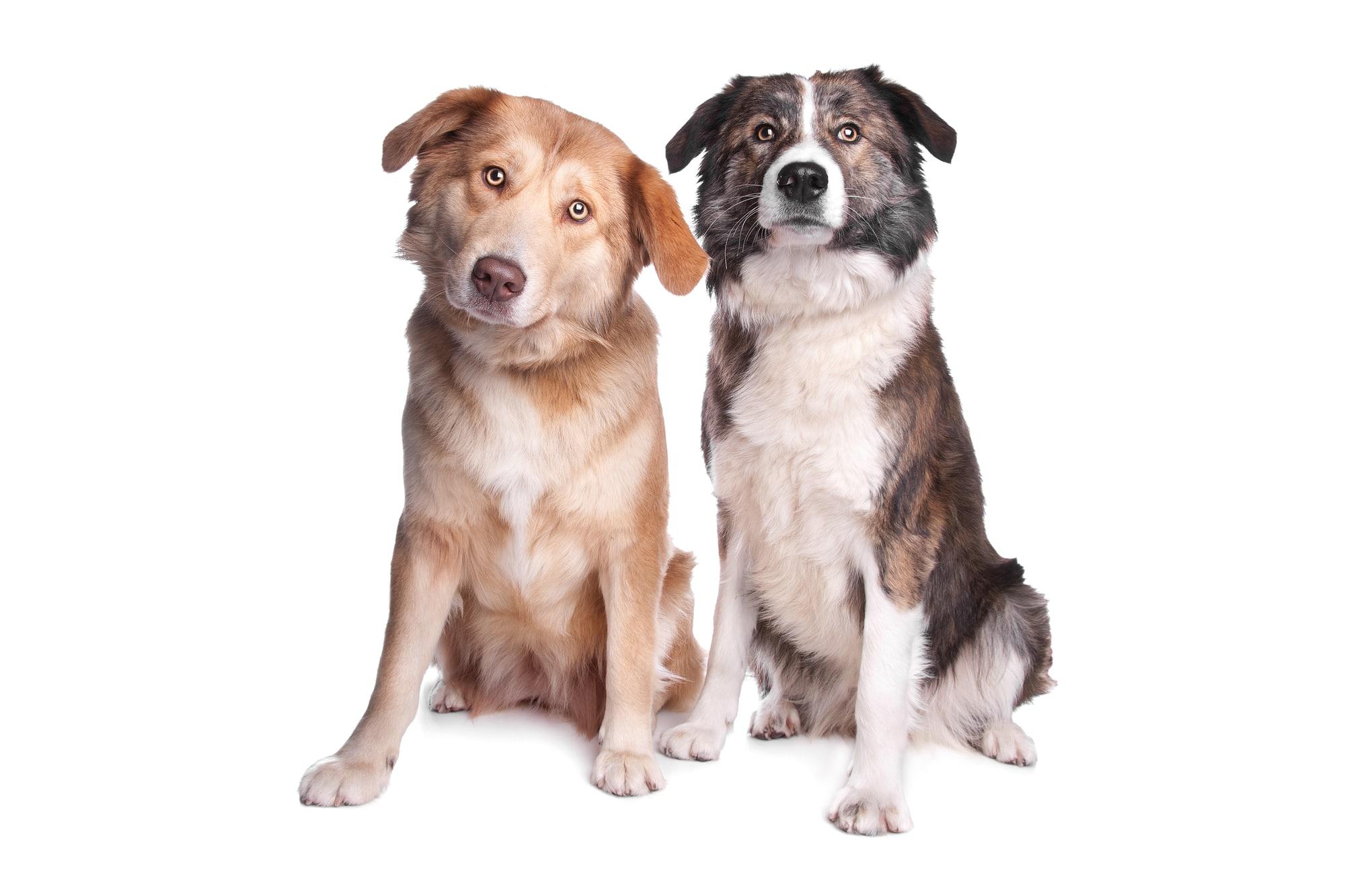 Zwei Aïdi Hunde