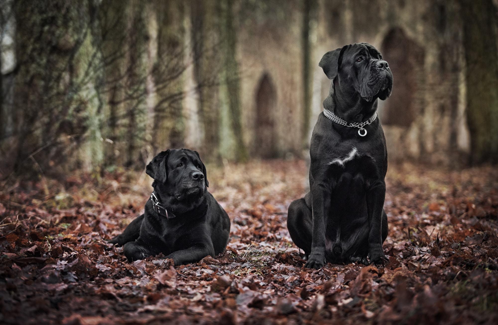Zwei Cane Corso