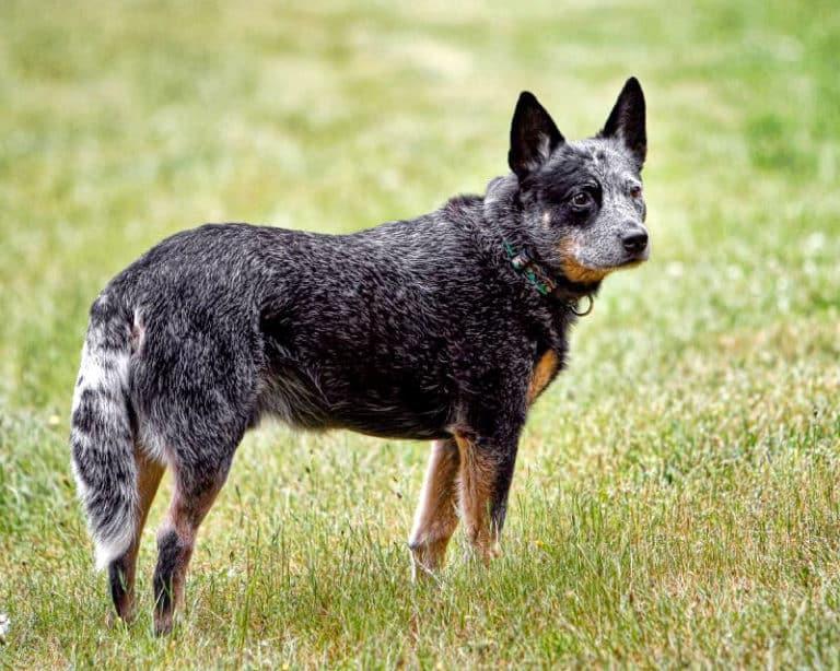 australian-cattle-dog_bilder