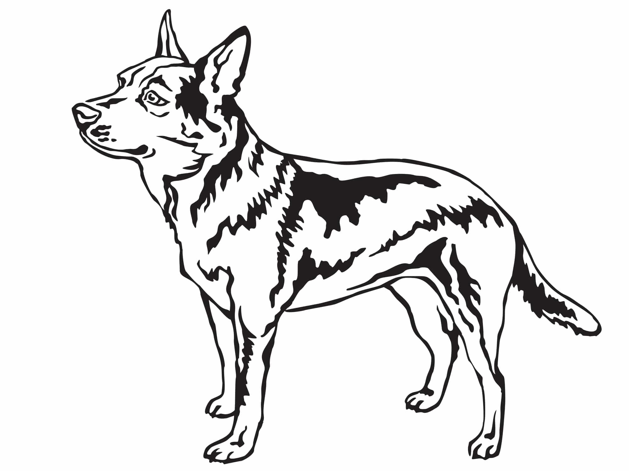 australian-cattle-dog-Herkunft