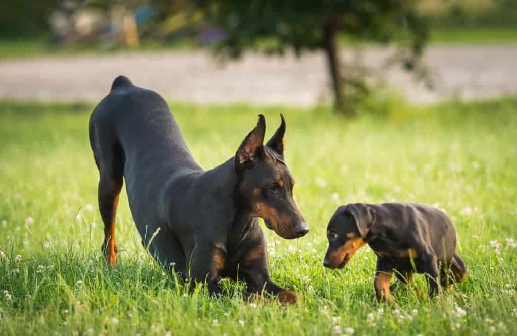 Two black dobermans on the green grass