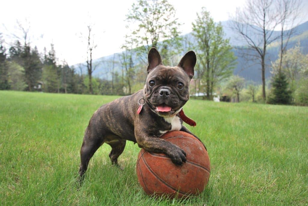 französischebulldogge