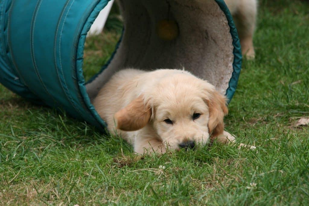 golden retriever puppy 2706680 1920