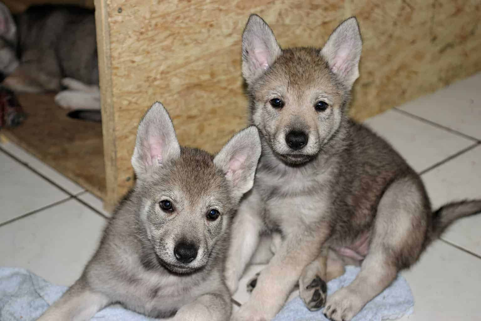 tschechoslowakischer-wolfshund_bild1