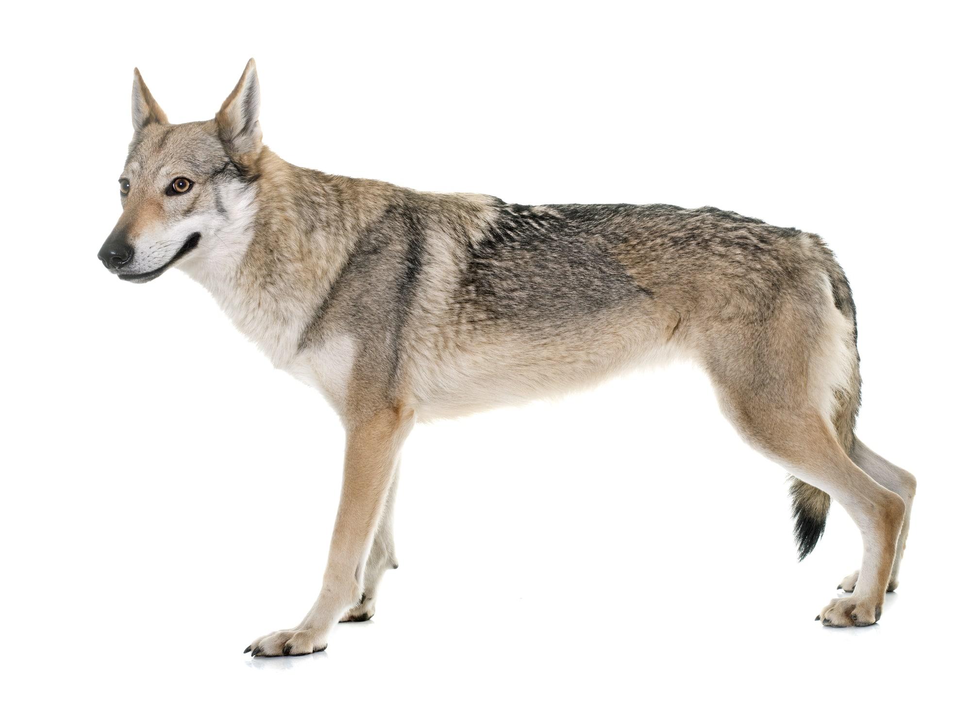 tschechoslowakischer-wolfshund_bild2