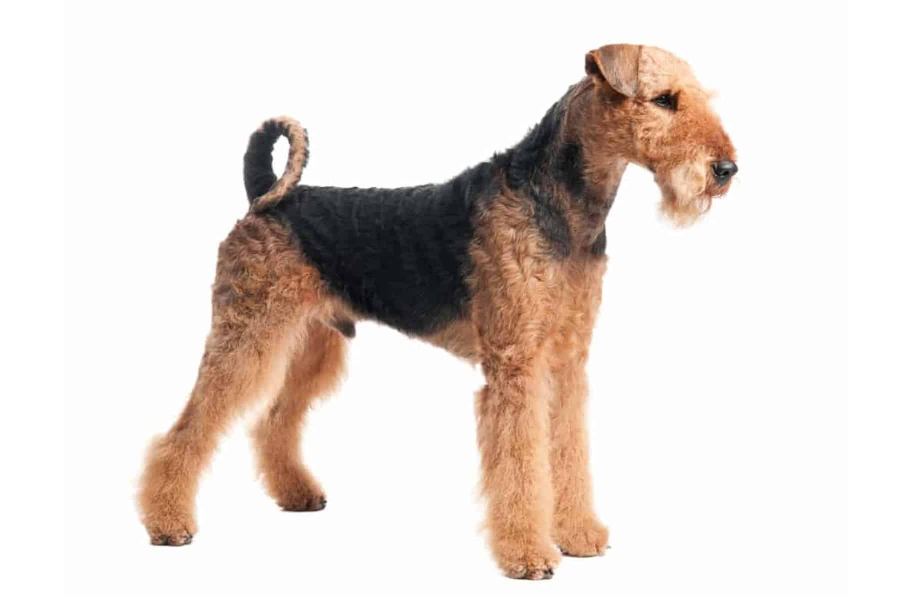 Airedale Terrier Profilbild