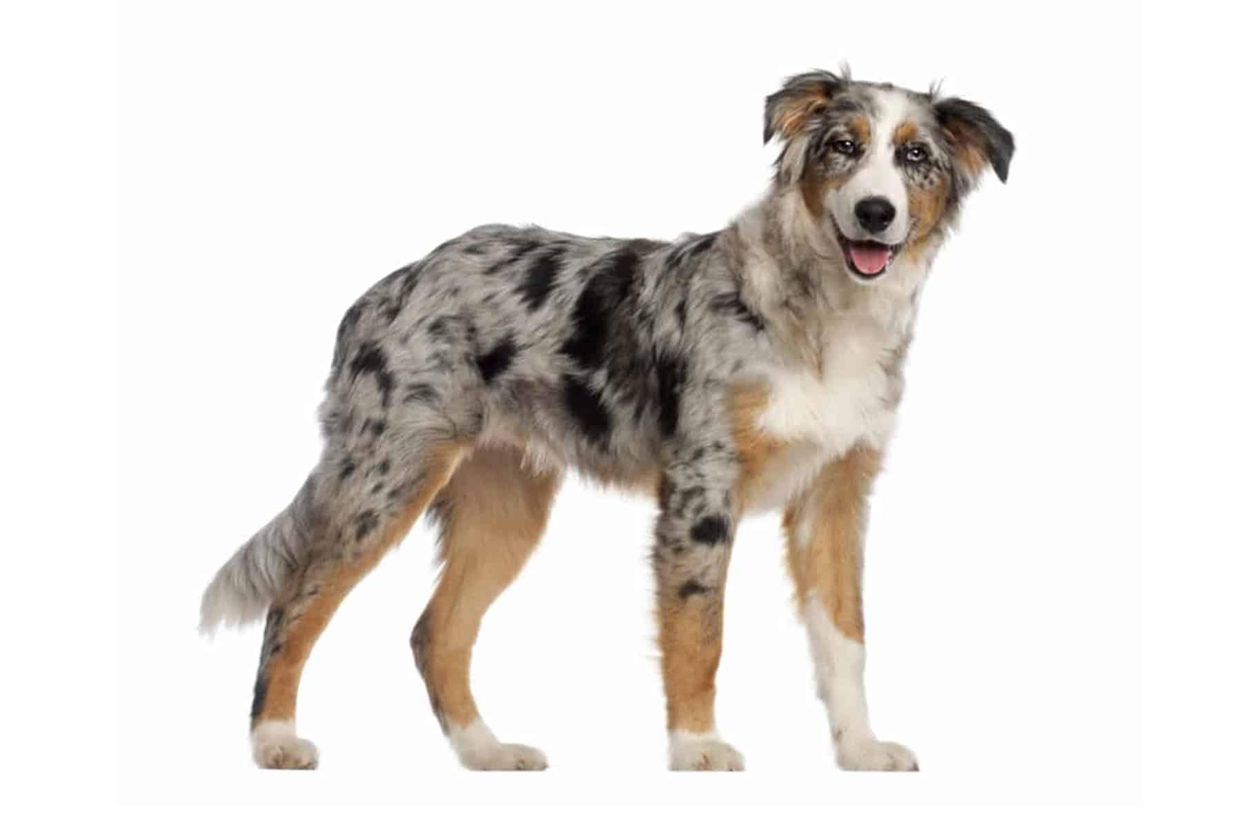 Australian Shepherd Profil