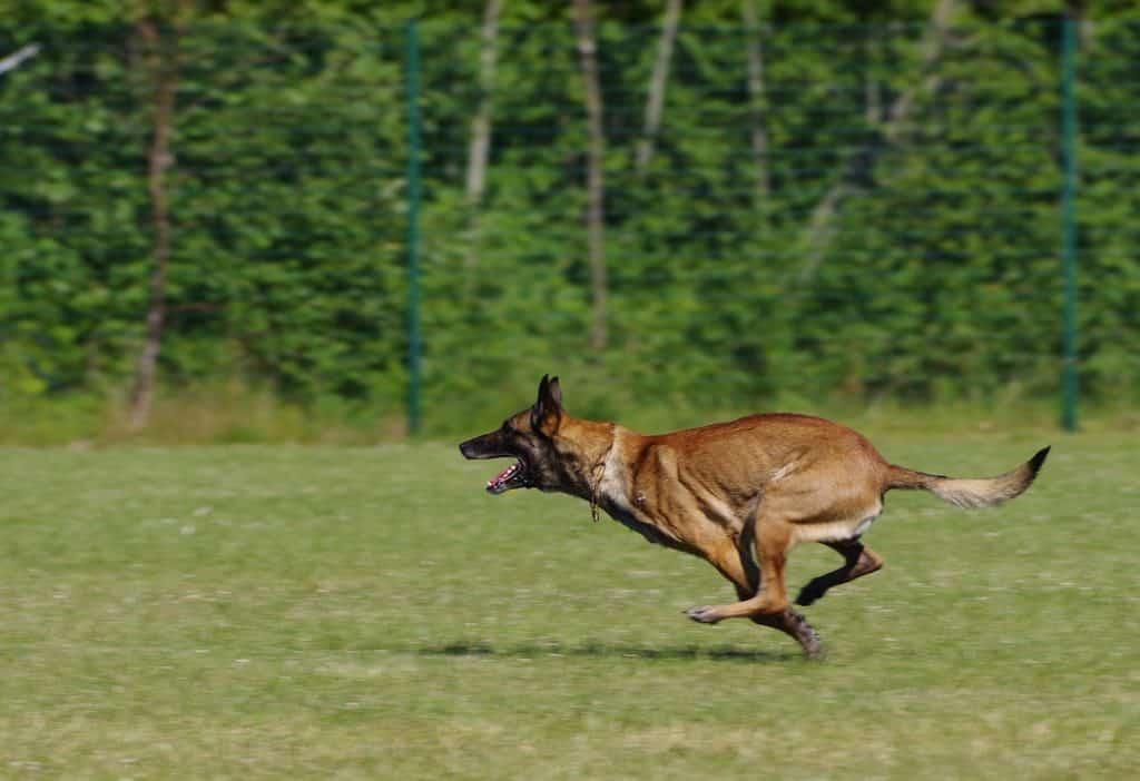 Belgischer Schäferhund 2