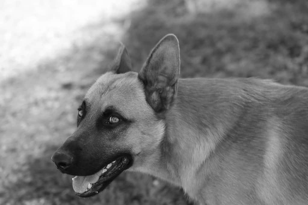 Belgischer Schäferhund Herkunft