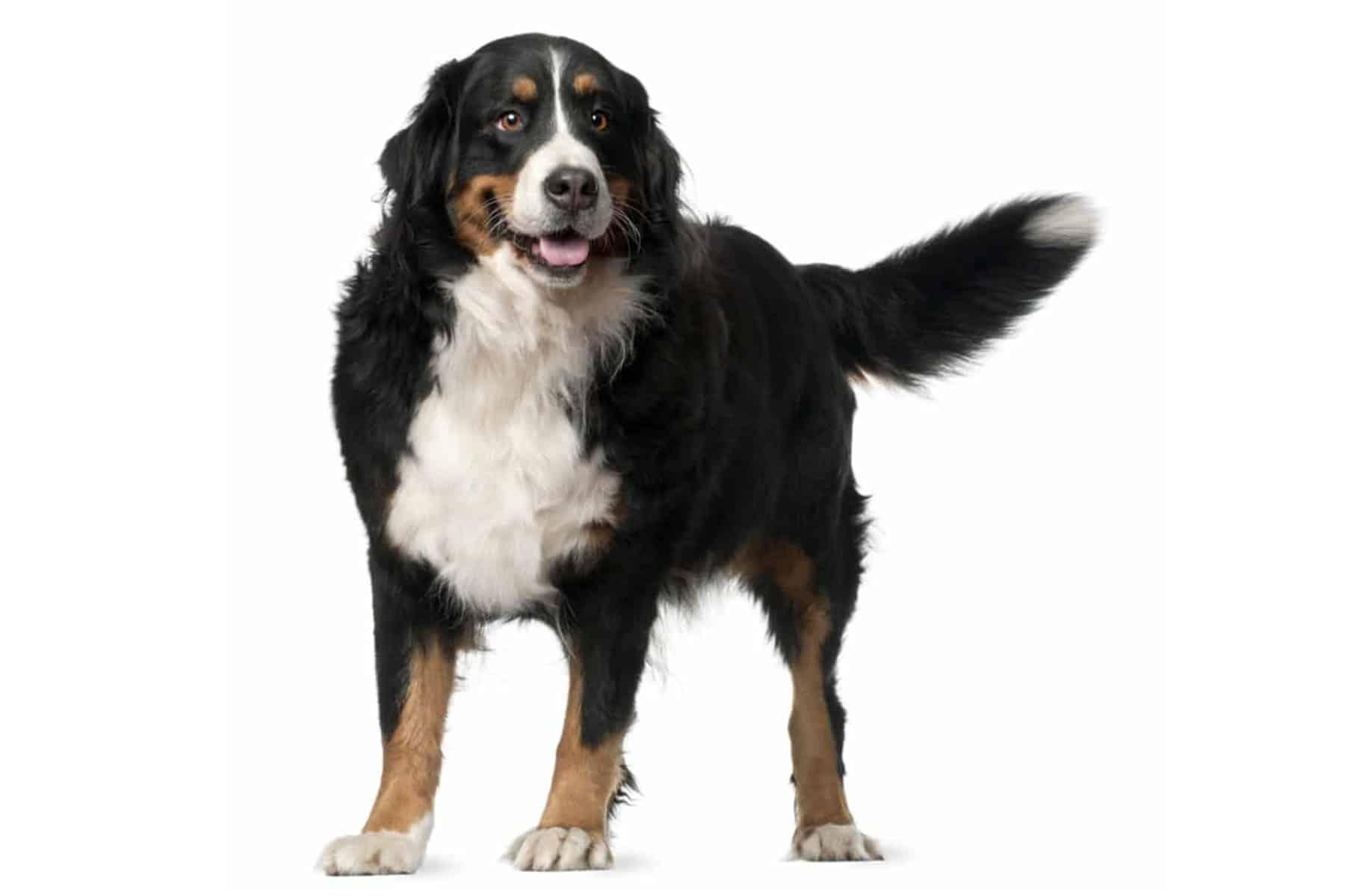 Berner Sennenhund Profil