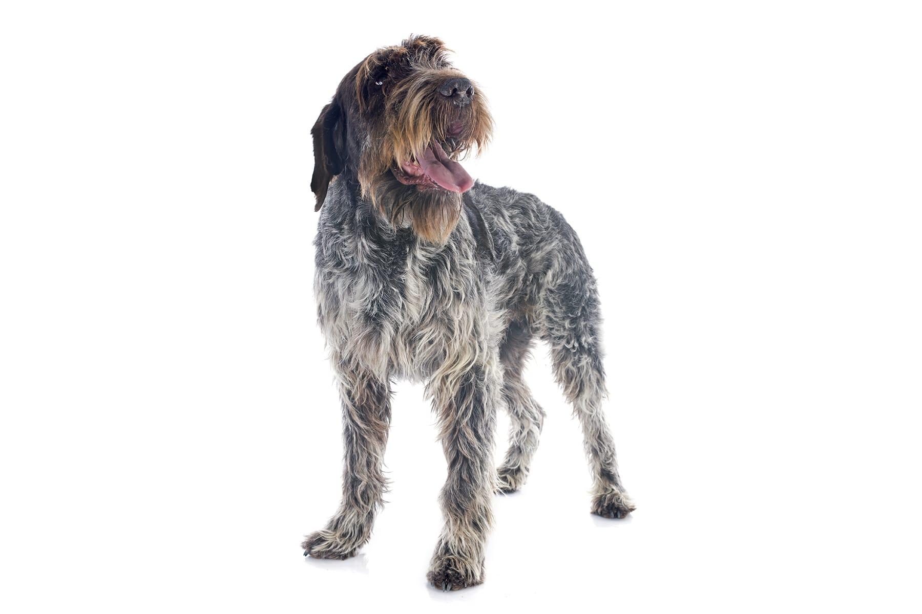 Deutsch Drahthaar Hund Profil
