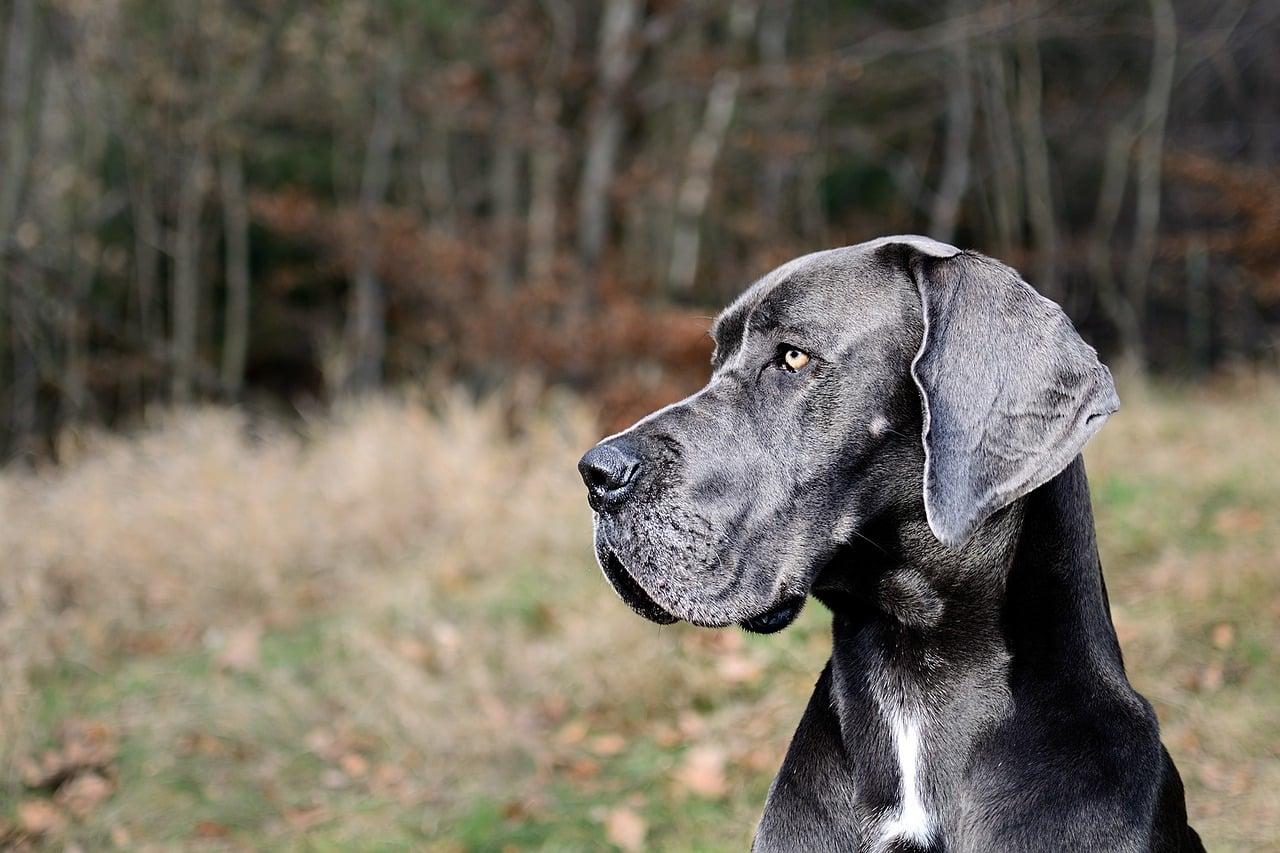 Deutsche Dogge Portrait