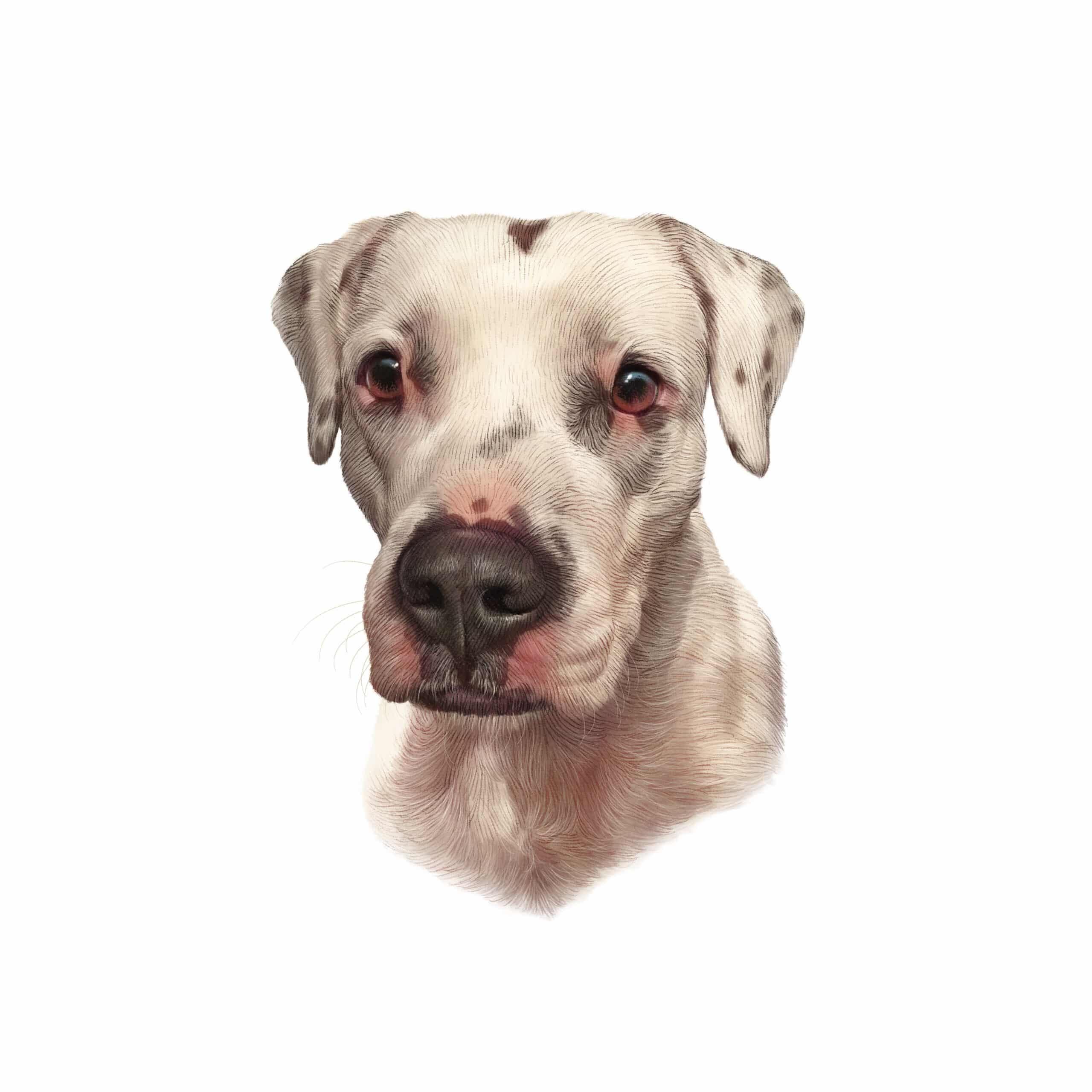 Dogo Argentino Geschichtsbild