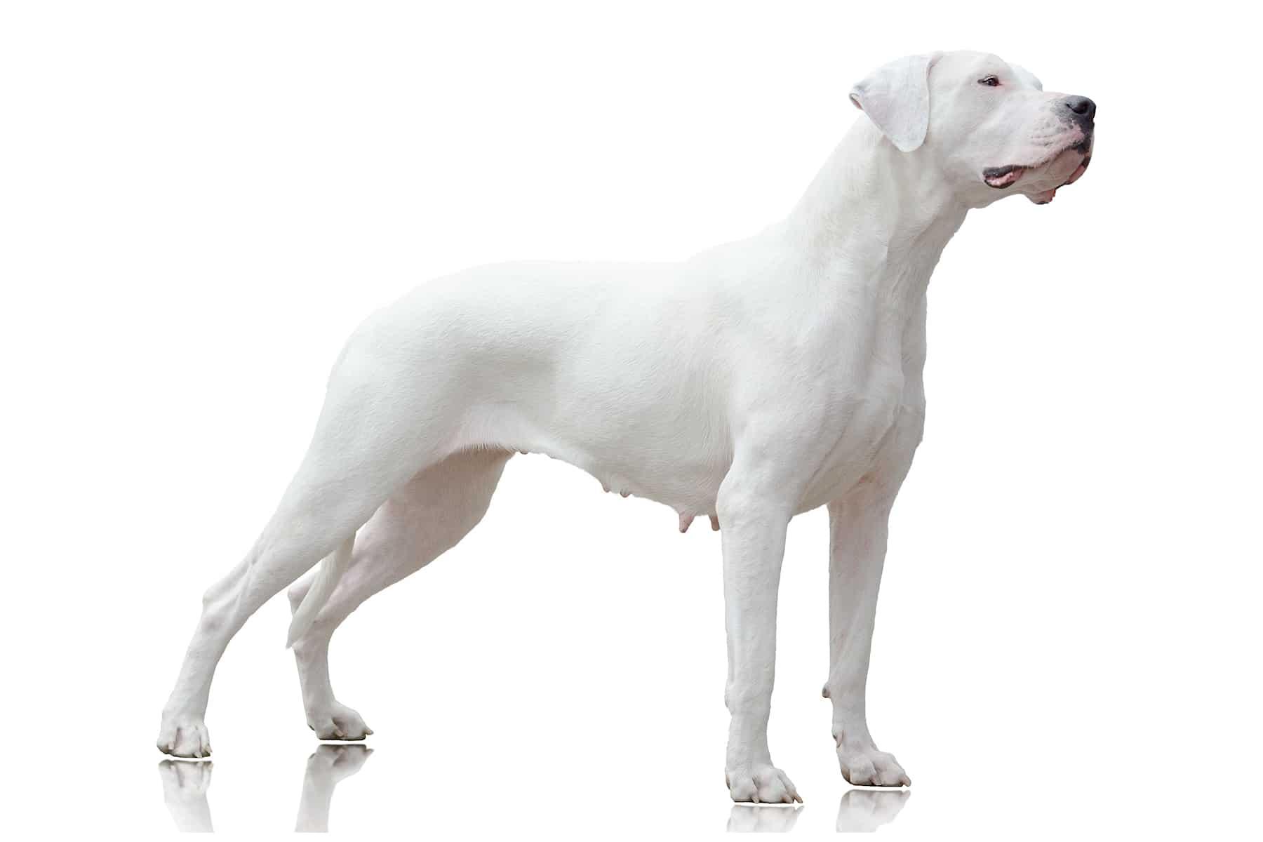 Dogo Argentino Hunderasse Profil