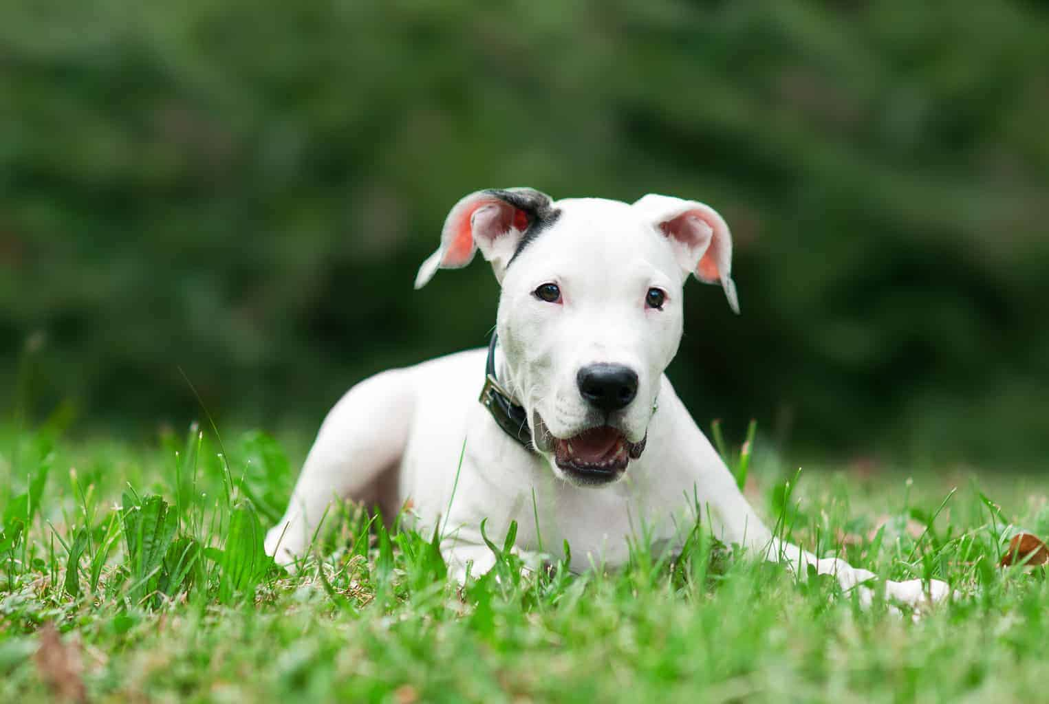 Dogo Argentino jung