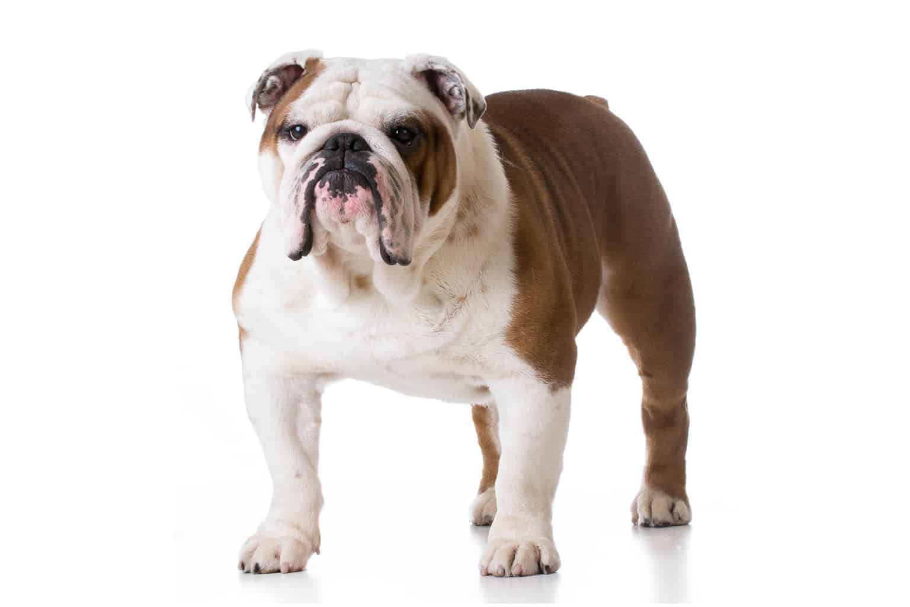 Englische Bulldogge Profilbild