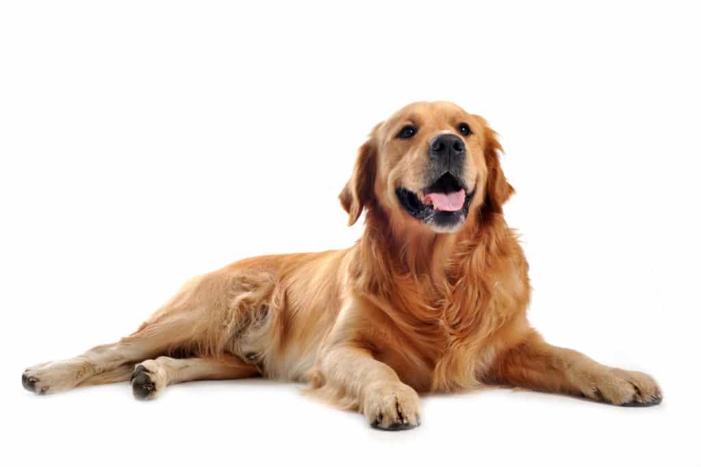 Golden Retriever Hund