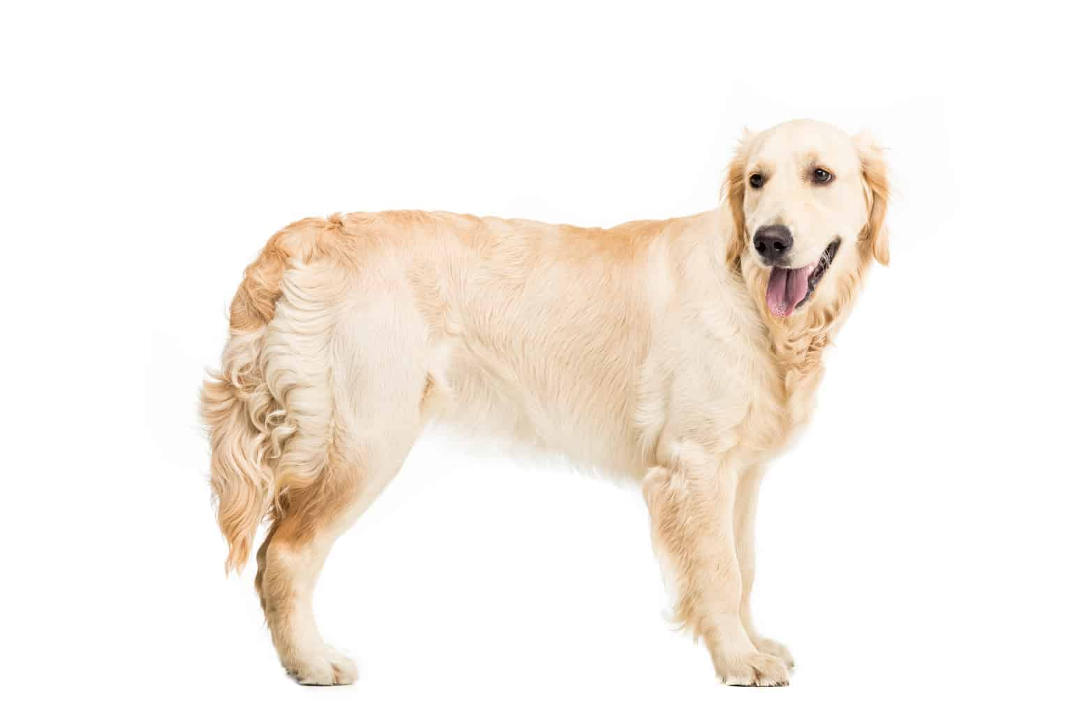 Golden Retriever Profil
