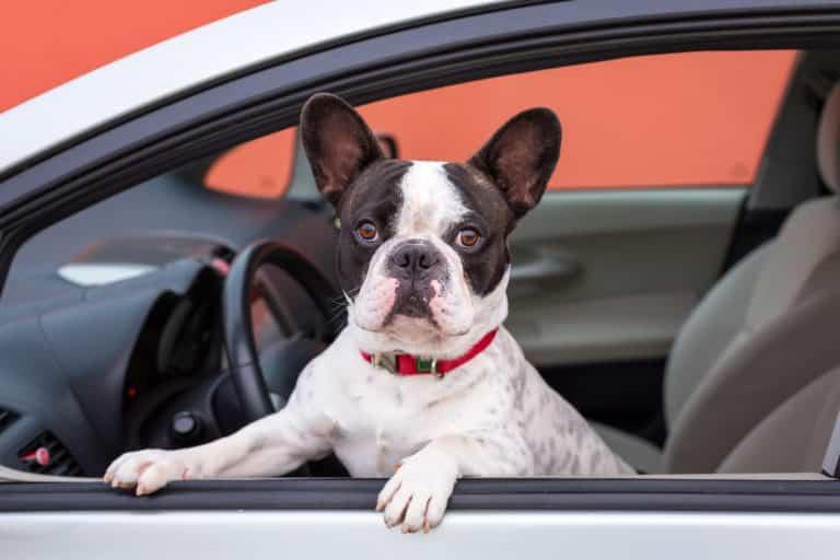 Hund im Auto