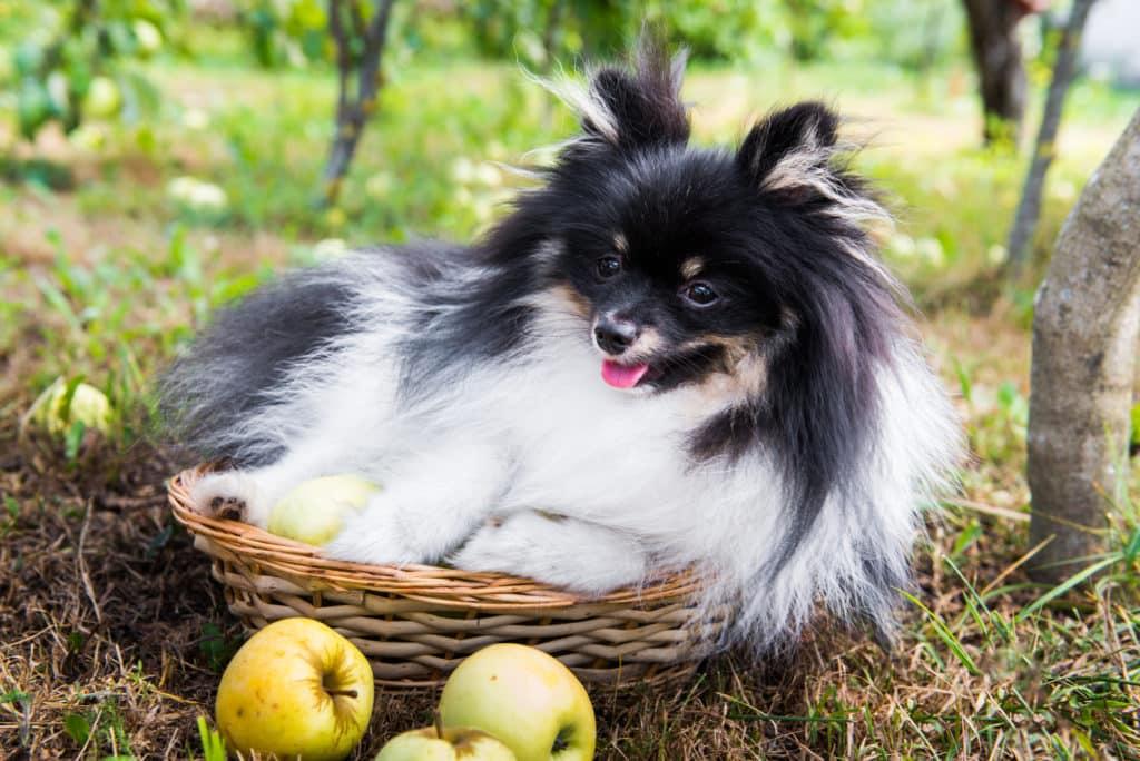 Hund und Apfel