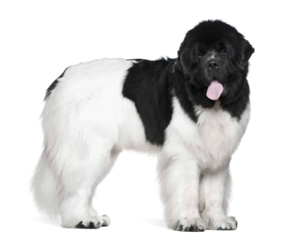 Neufundland Hund