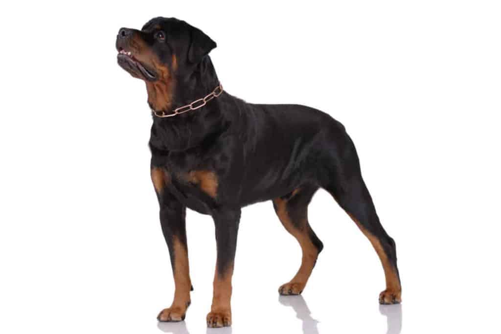 Rottweiler Profilbild