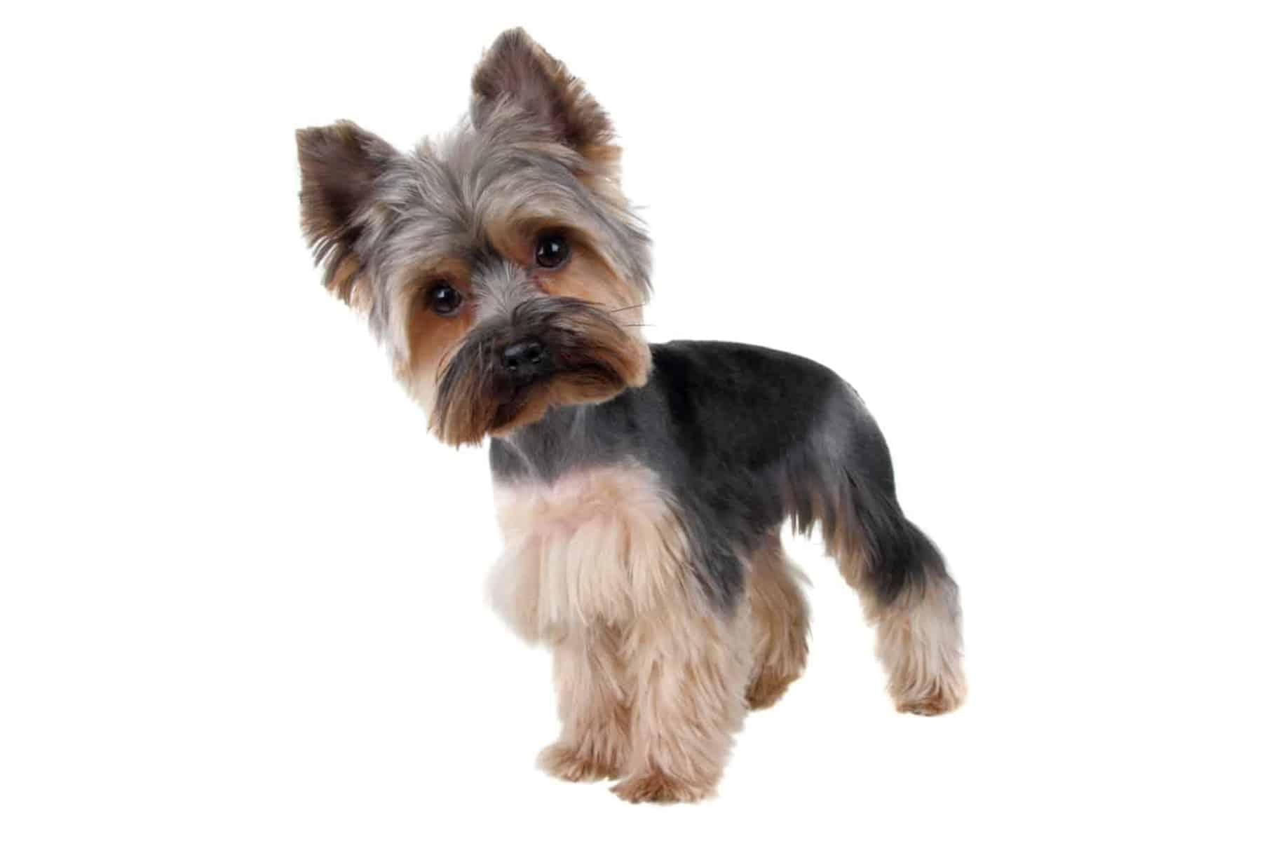 Yorkshire Terrier Profilbild
