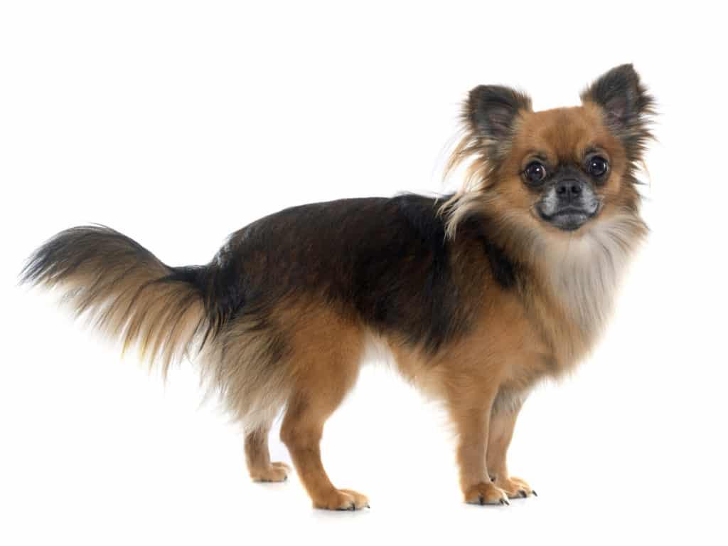 Chihuahua Rasse