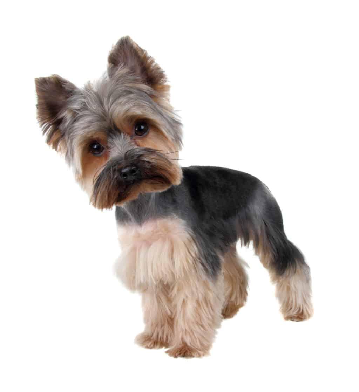 yorkshire terrier rasse
