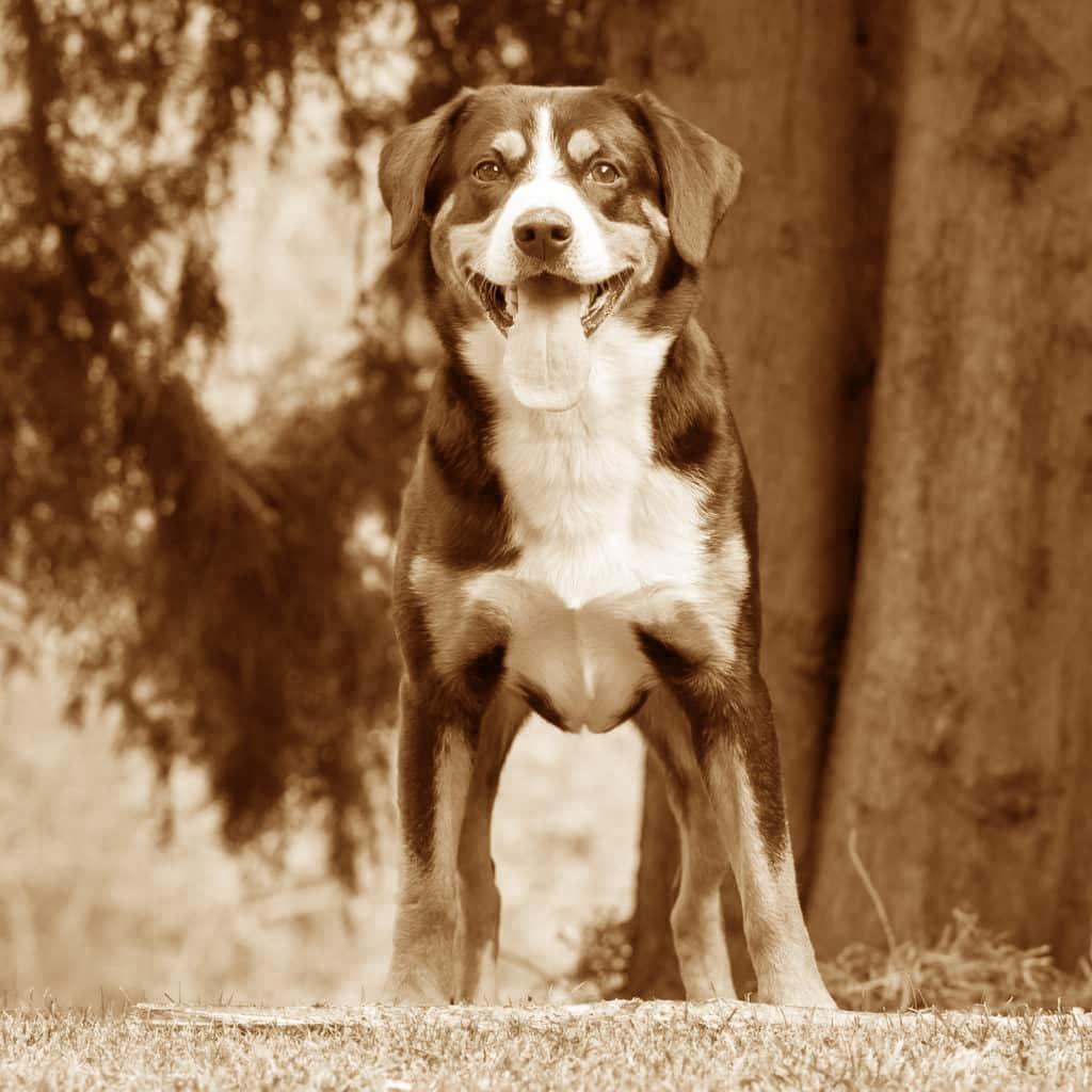 Appenzeller Sennenhund Geschichte
