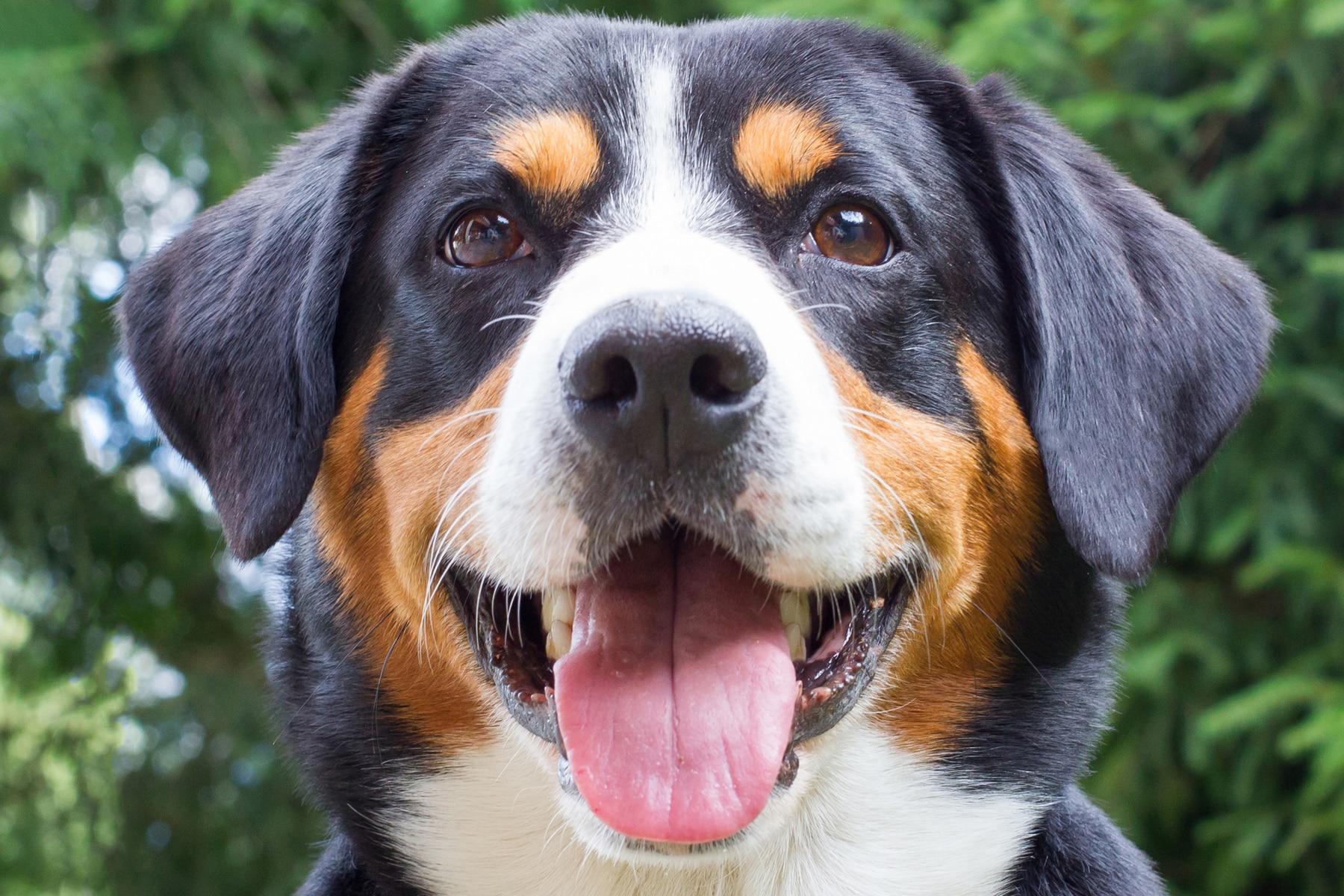 Appenzeller Sennenhund Porträt