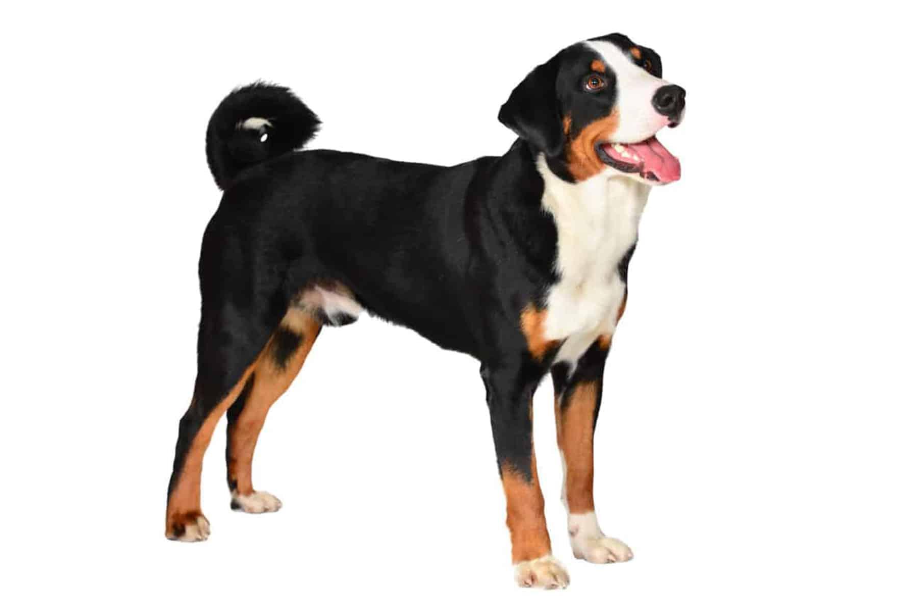 Appenzeller Sennenhund Profil