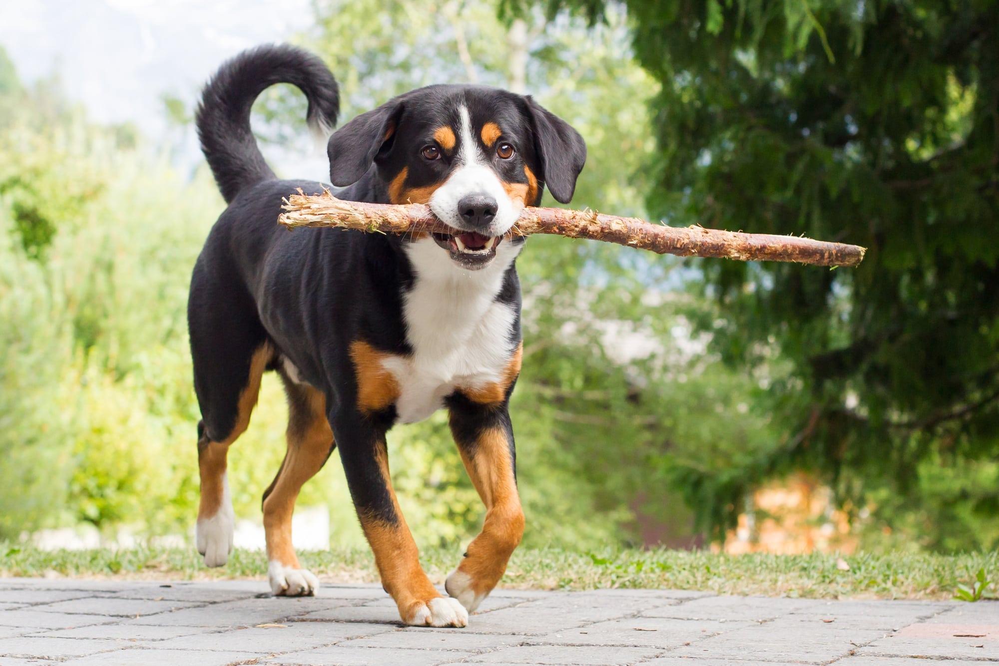 Appenzeller Sennenhund mit Ast