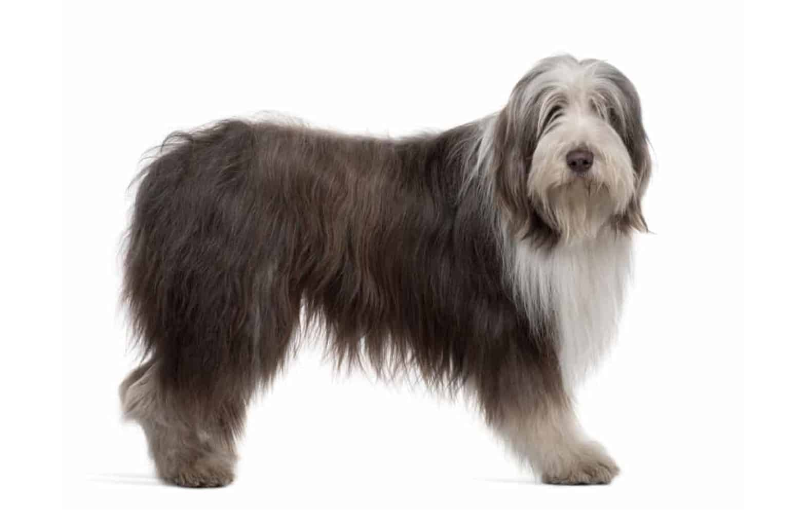 Bearded Collie Profil