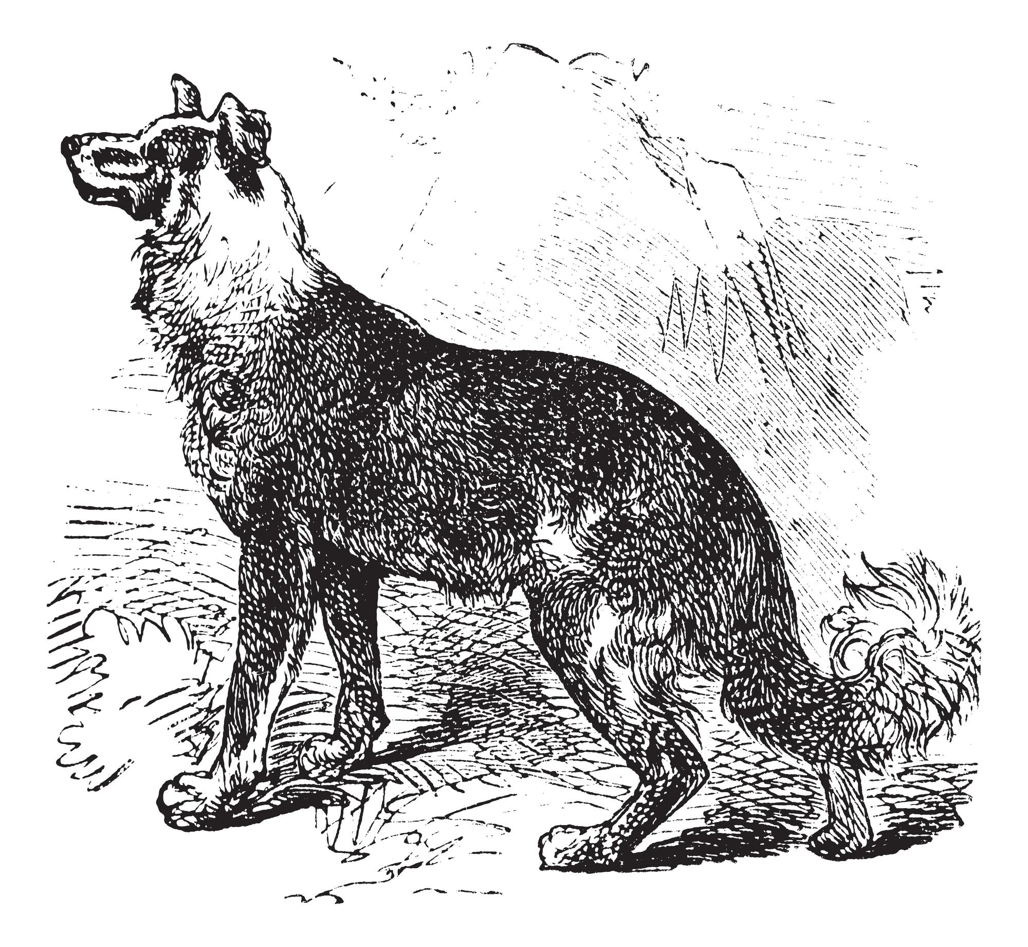 Belgischer Schäferhund Geschichte