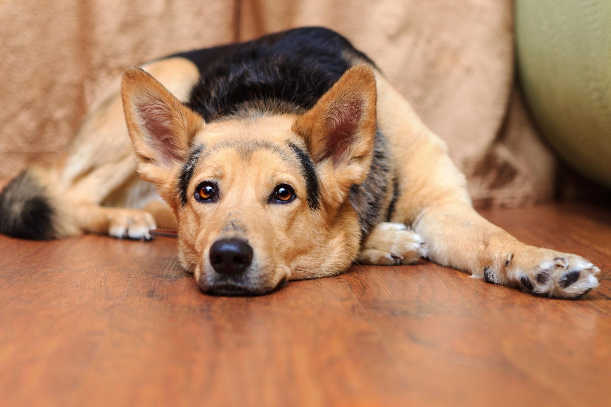 Belgischer Schäferhund liegt