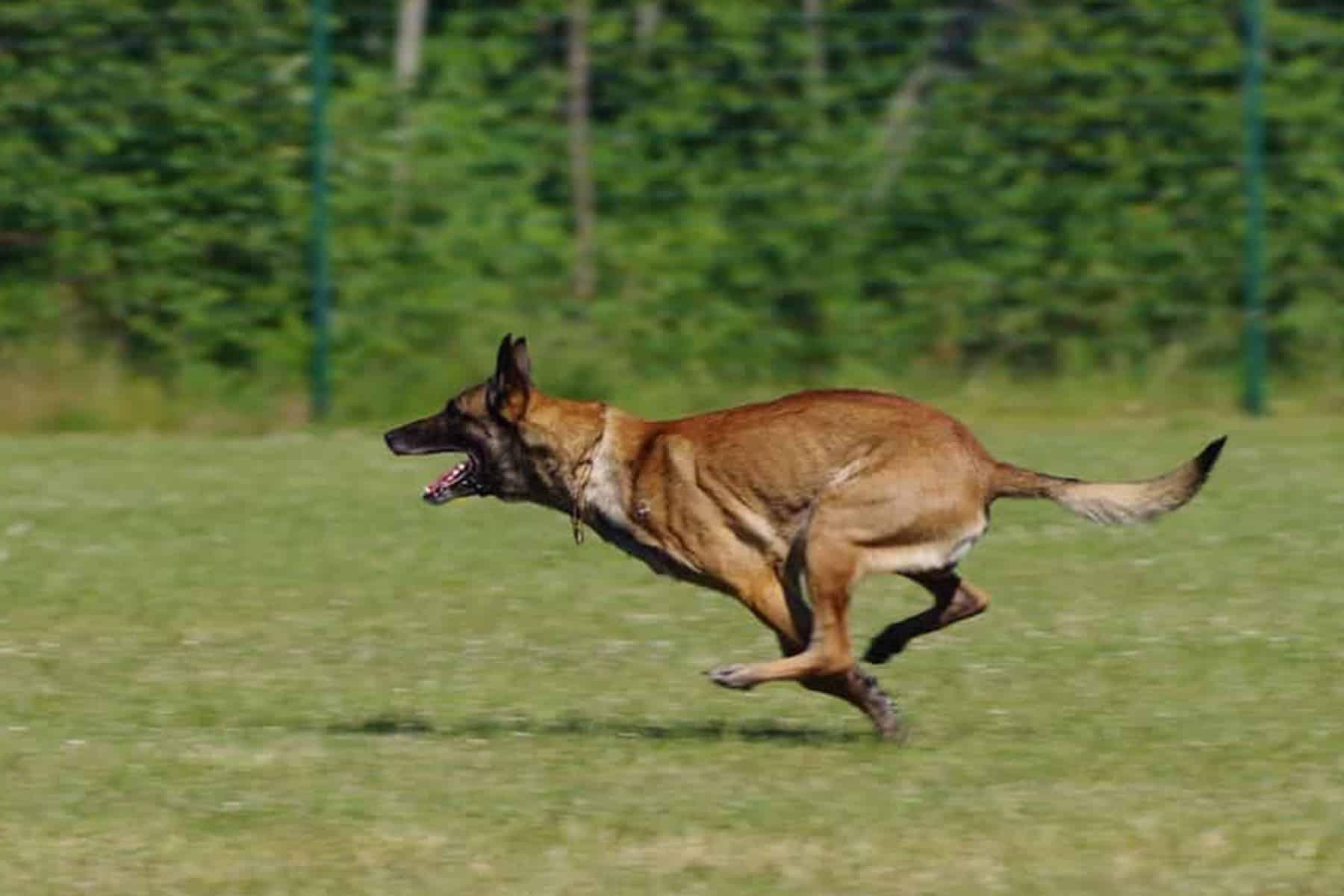 Belgischer Schäferhund rennt