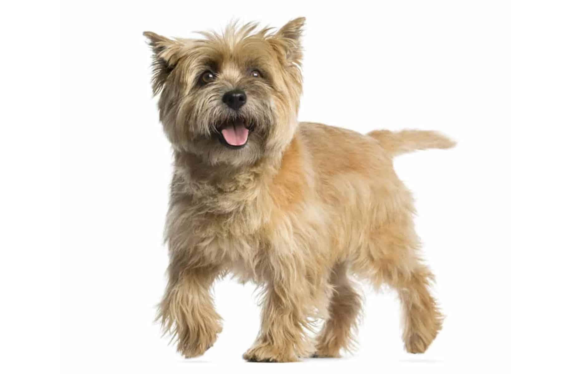 Cairn Terrier Profil