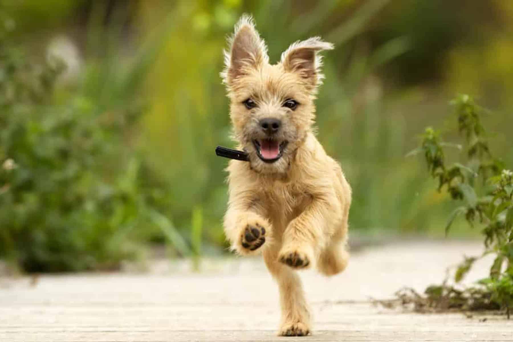 Cairn Terrier rennt