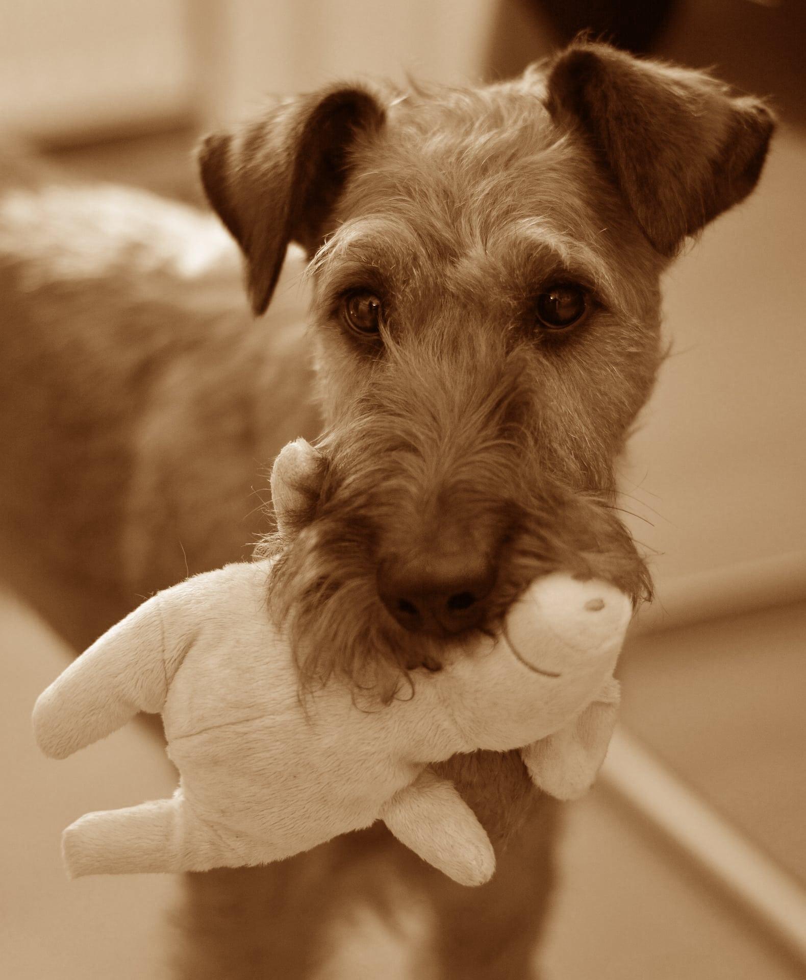 Irish Terrier Geschichtsbild