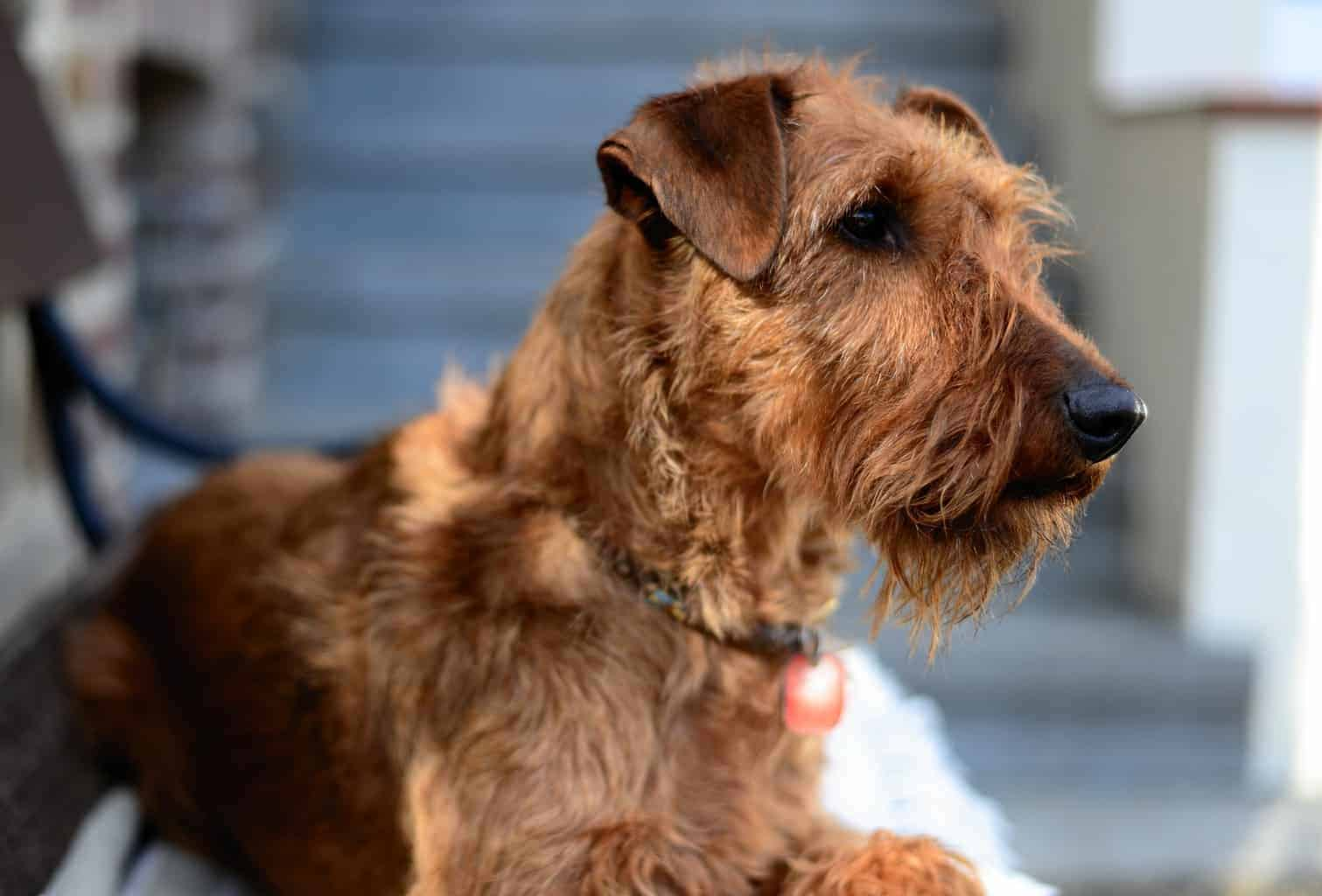 Irish Terrier Portrait