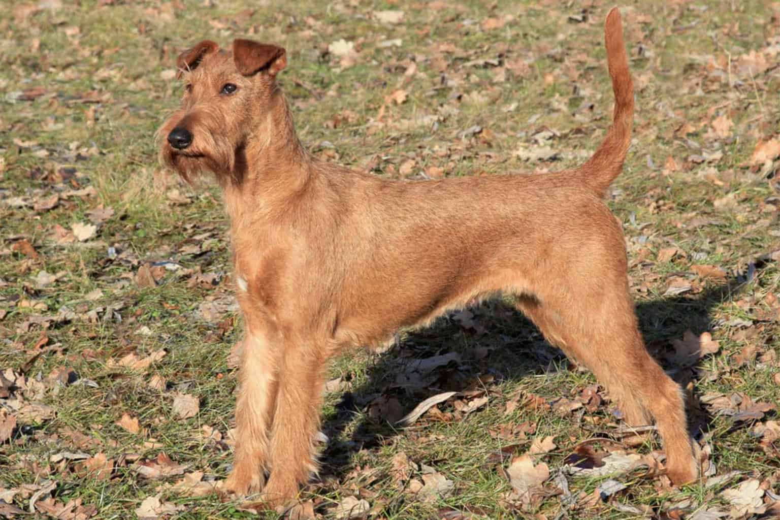 Irish Terrier Profil steht
