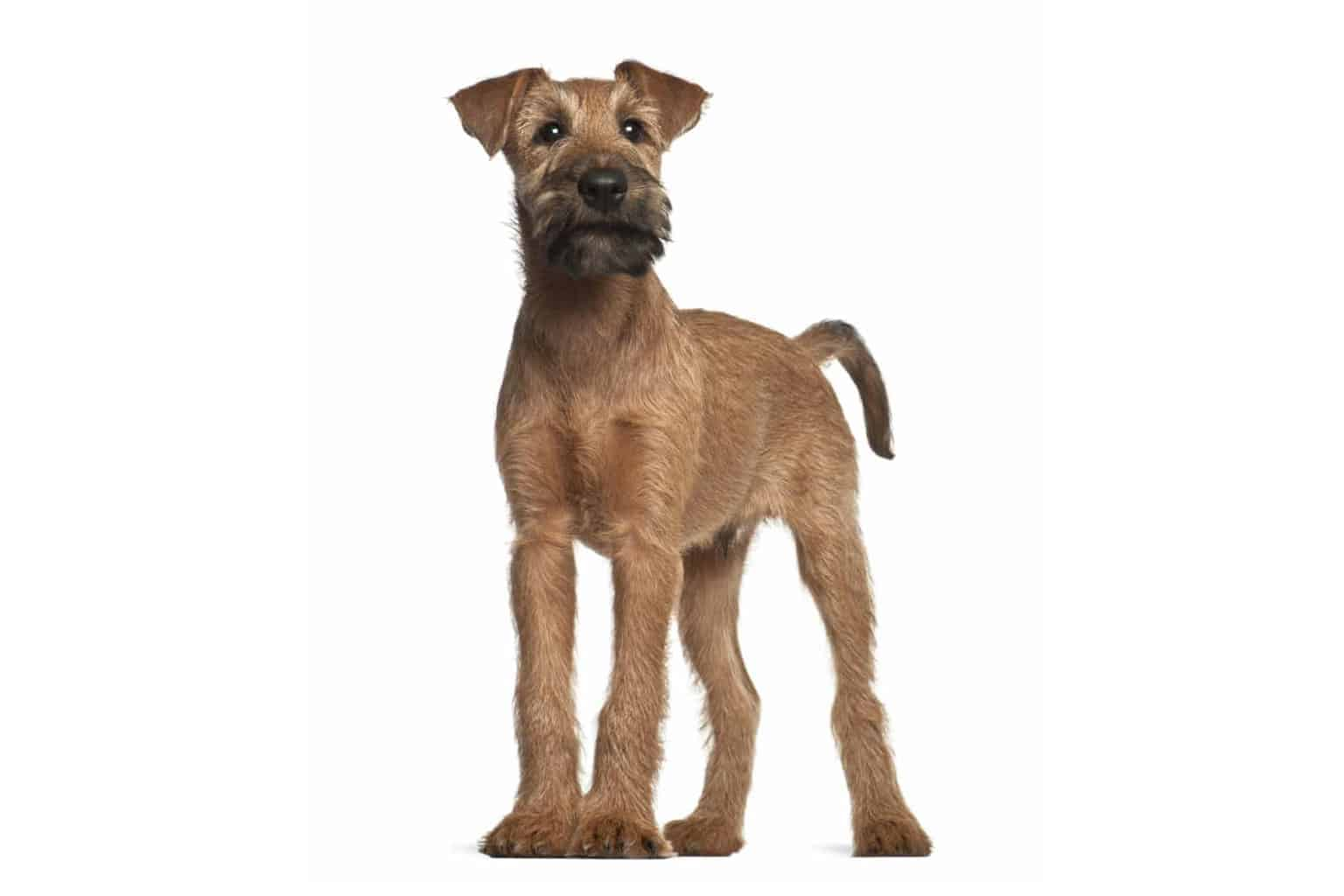 Irish Terrier Profil