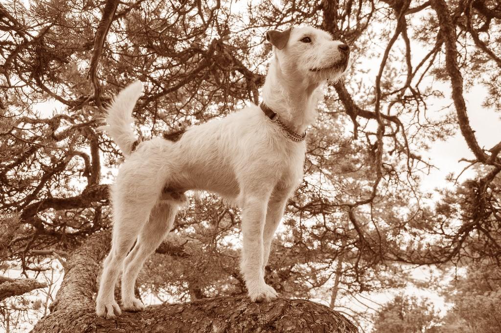 Parson Russell Terrier Geschichte