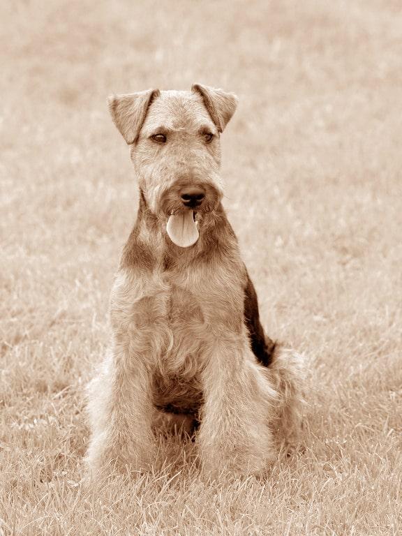 Welsh Terrier Geschichte